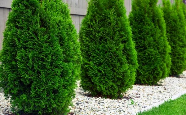 thuja hecke immergrüne pflanzen gartengestaltung
