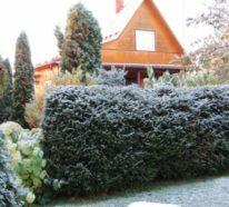 Thuja Hecke – So werden Lebensbäume zum perfekten Sicht- und Windschutz!