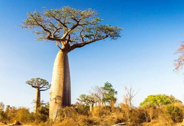 Baobab-Frucht Wo ist Boabab Baum heimisch