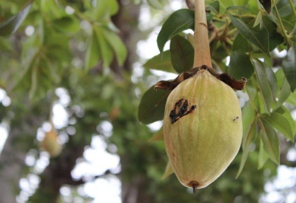 Baobab-Frucht am Baum Superfrucht aus Afrika