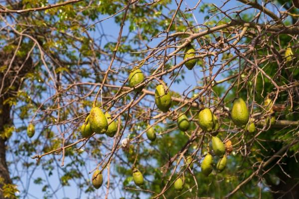 Baobab-Frucht trocknet am Baum Superfrucht gesundheitliche Vorteile