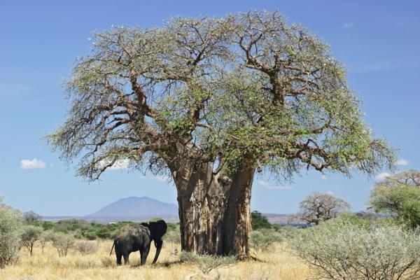 Baobab-Frucht und Pulver Superfrucht aus Afrika Boabab Baum
