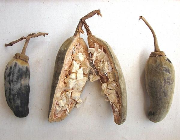 Baobab-Frucht und Pulver Superfrucht gesundheitliche Vorteile