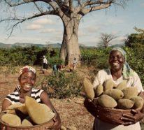 Warum ist die Baobab-Frucht gesund? – Wissenswertes über das Superfood