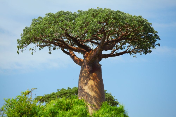 Baobab-Frucht und Pulver Wo ist Boabab Baum heimisch Affenbrotbaum
