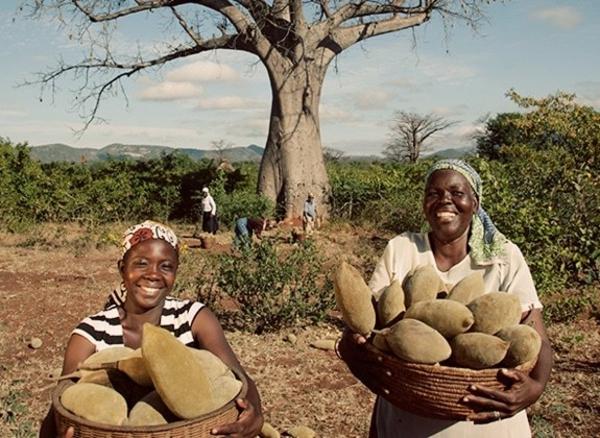 Baobab-Frucht und Pulver Wo ist Boabab Baum heimisch