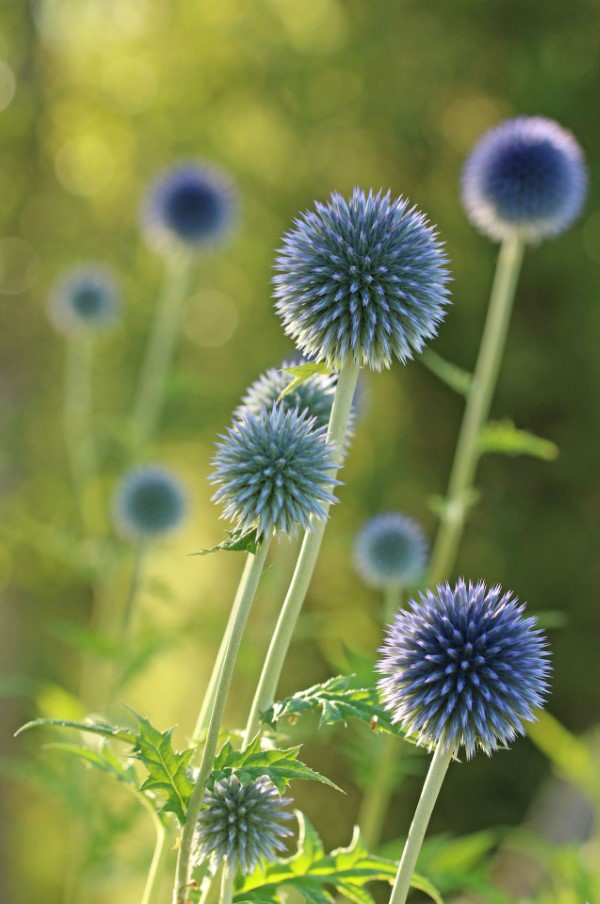 Blaue Frühlingsblumen im Topf und Garten – prachtvolle Arten und Pflegetipps Echinops bannaticus kugeldistel