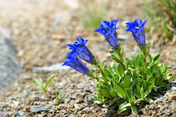Blaue Frühlingsblumen im Topf und Garten – prachtvolle Arten und Pflegetipps Enziane in blau