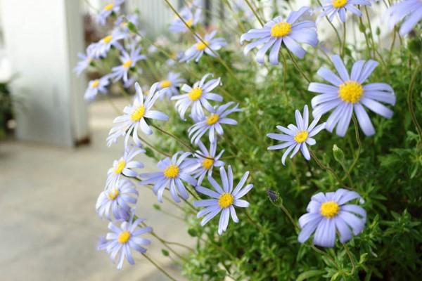 Blaue Frühlingsblumen im Topf und Garten – prachtvolle Arten und Pflegetipps Kapaster Felicia amelloides blau