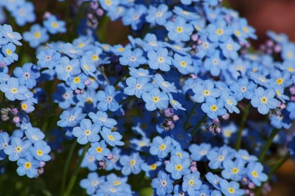 Blaue Frühlingsblumen im Topf und Garten – prachtvolle Arten und Pflegetipps Vergissmeinnicht schön blau