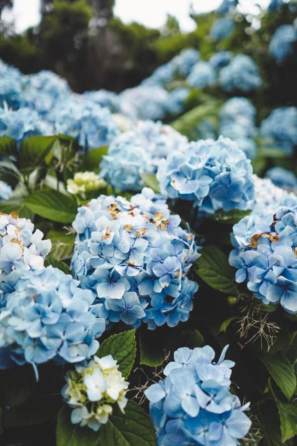 Blaue Frühlingsblumen im Topf und Garten – prachtvolle Arten und Pflegetipps blasse blaue hortensien