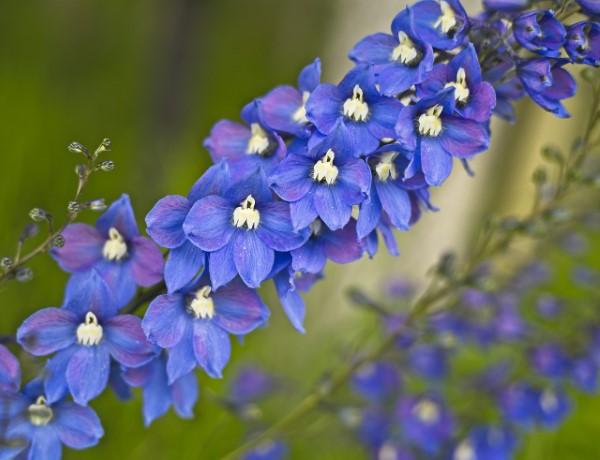 Blaue Frühlingsblumen im Topf und Garten – prachtvolle Arten und Pflegetipps blau Delphinium rittersporn