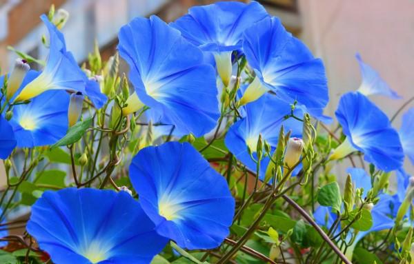 Blaue Frühlingsblumen im Topf und Garten – prachtvolle Arten und Pflegetipps himmelblaue prunkwinde