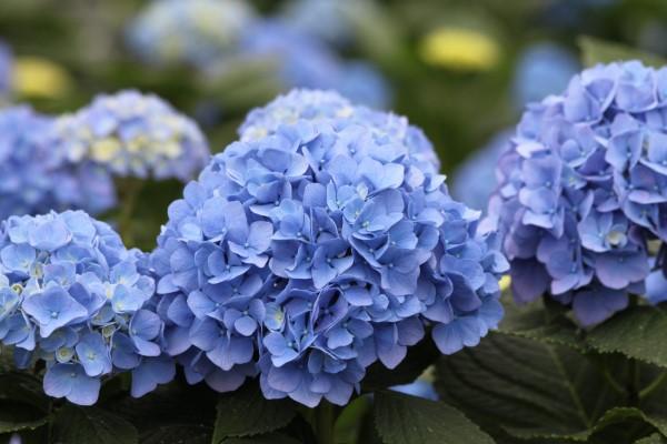 Blaue Frühlingsblumen im Topf und Garten – prachtvolle Arten und Pflegetipps hortensien schön blau