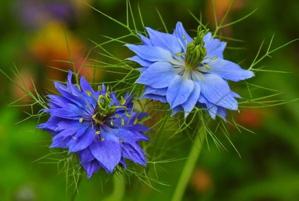 Blaue Frühlingsblumen im Topf und Garten – prachtvolle Arten und Pflegetipps jungfer im grünen Nigella damascena blau
