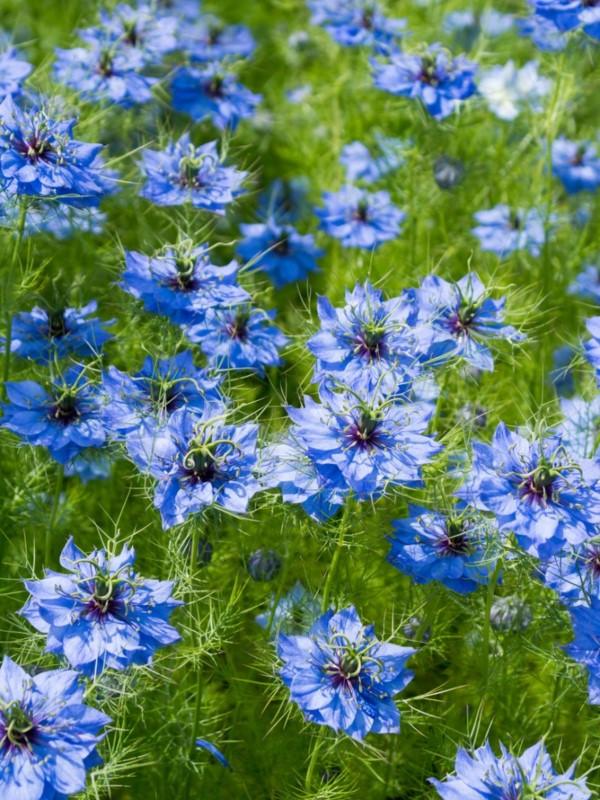 Blaue Frühlingsblumen im Topf und Garten – prachtvolle Arten und Pflegetipps jungfer im grünen blau Nigella damascena