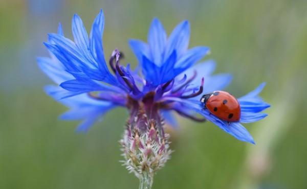 Blaue Frühlingsblumen im Topf und Garten – prachtvolle Arten und Pflegetipps kornblume blau marienkäfer