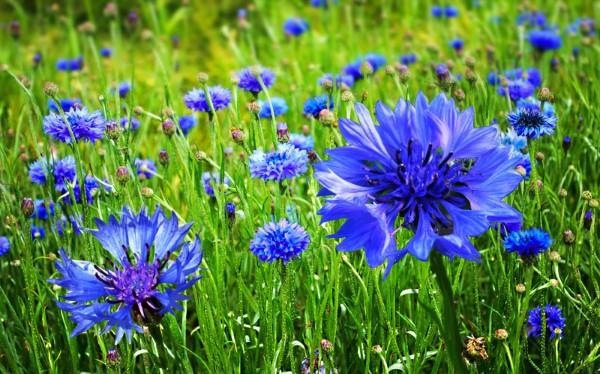 Blaue Frühlingsblumen im Topf und Garten – prachtvolle Arten und Pflegetipps kornblume feld blau