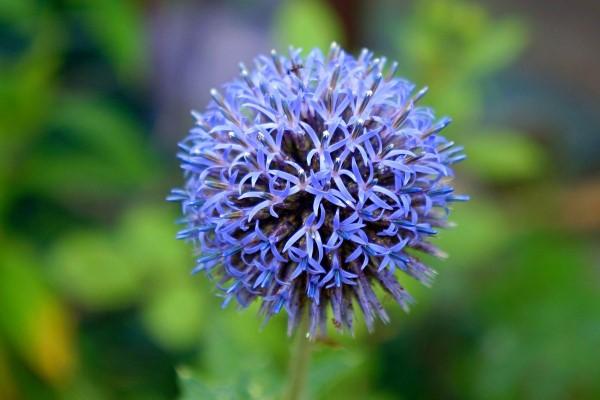Blaue Frühlingsblumen im Topf und Garten – prachtvolle Arten und Pflegetipps kugeldistel blau niedlich