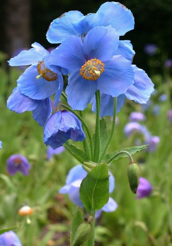 Blaue Frühlingsblumen im Topf und Garten – prachtvolle Arten und Pflegetipps mohn blau tibet