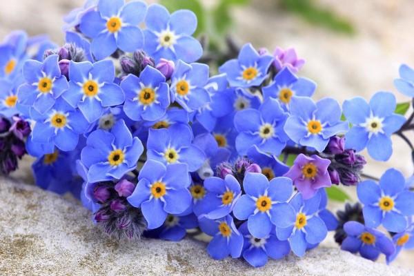 Blaue Frühlingsblumen im Topf und Garten – prachtvolle Arten und Pflegetipps schöne blaue vergissmeinnicht blumen