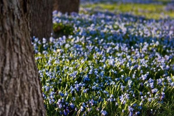 Blaue Frühlingsblumen im Topf und Garten – prachtvolle Arten und Pflegetipps sibirische blausterne Scilla siberica