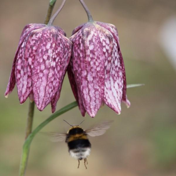 Die Schachbrettblume sorgt für Blütenzauber im Frühlingsgarten bienen magnet blumen