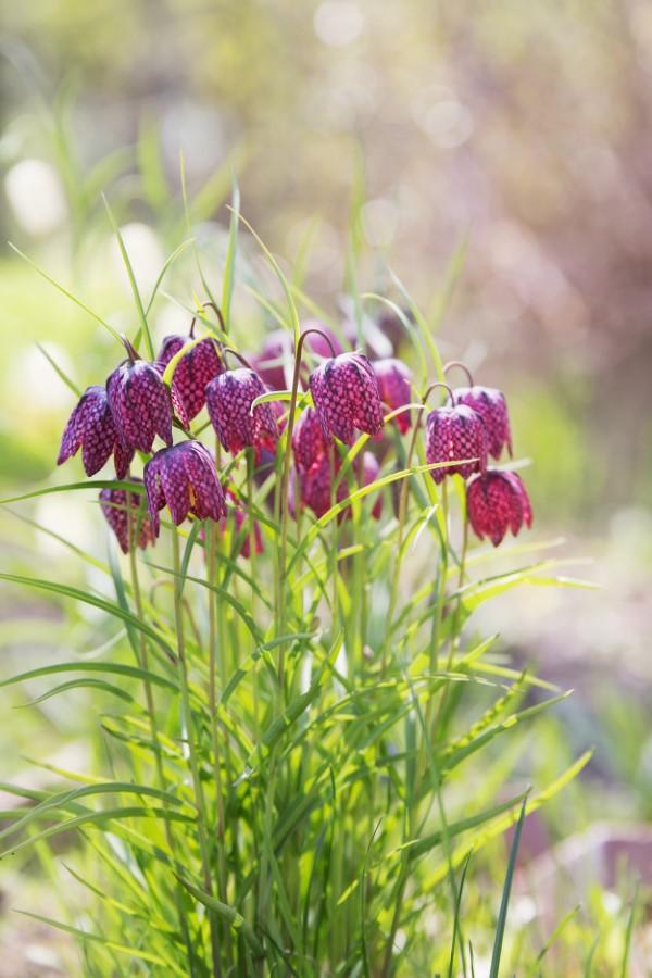 Die Schachbrettblume sorgt für Blütenzauber im Frühlingsgarten garten pflanzen ideen pflege tipps
