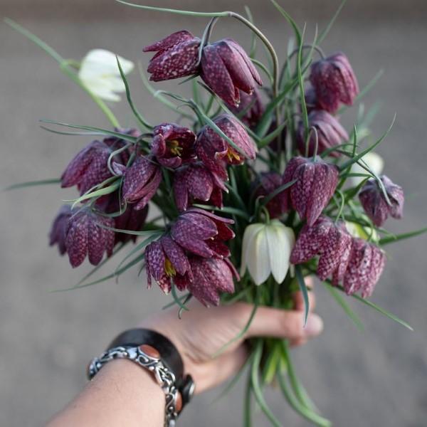 Die Schachbrettblume sorgt für Blütenzauber im Frühlingsgarten schnittblumen verschieden schön