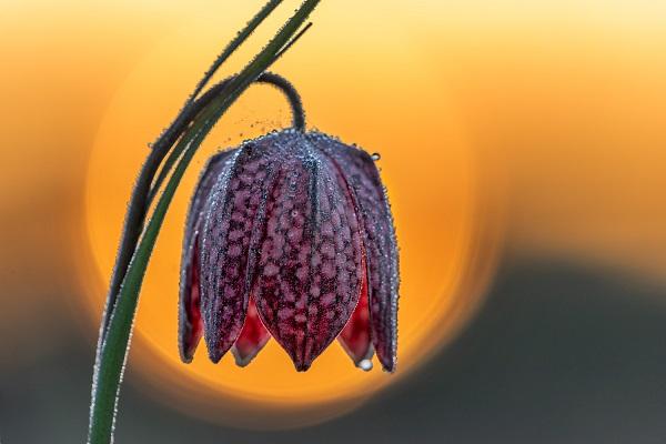 Die Schachbrettblume sorgt für Blütenzauber im Frühlingsgarten sonnenuntergang blume
