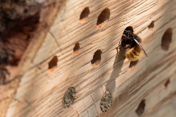 Insektenhotel basteln und den Frühlingsgarten mit freudigen Summen erfüllen biene kriecht durch loch