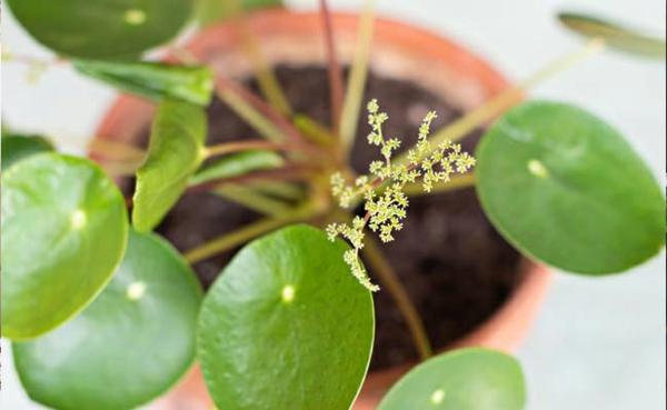 blätter ufopflanze pilea topfpflanze