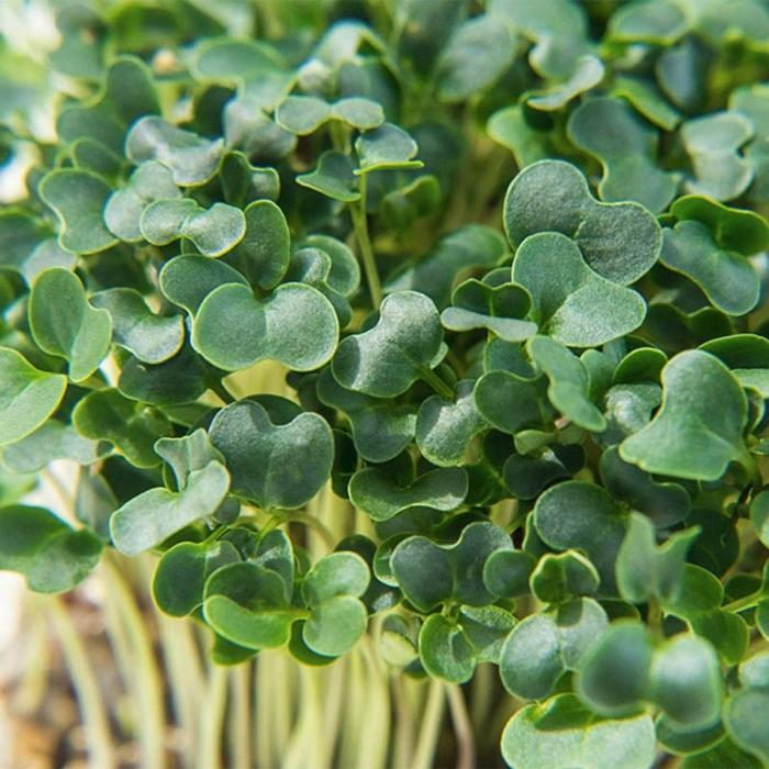 microgreens lecker grükohl