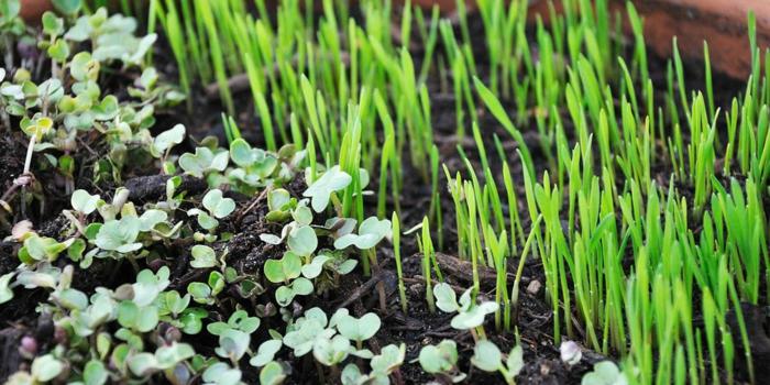 microgreens vitamine weizengras