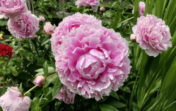pfingstrosen pflege rosa blüten