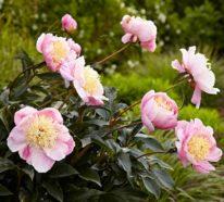 Pfingstrosen Pflege – die wichtigsten Tipps für himmlisch duftende Blütenpracht!