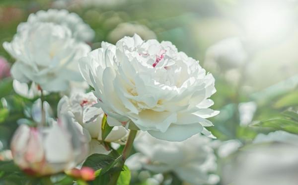 pfingstrosen pflege weiße blüten