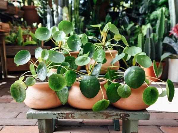 ufopflanze pilea blumentopf