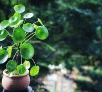 Ufopflanze – alles, was Sie über die Pilea Pflege wissen sollten