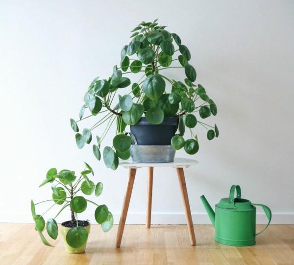 ufopflanze pilea gesunde zimmerpflanze