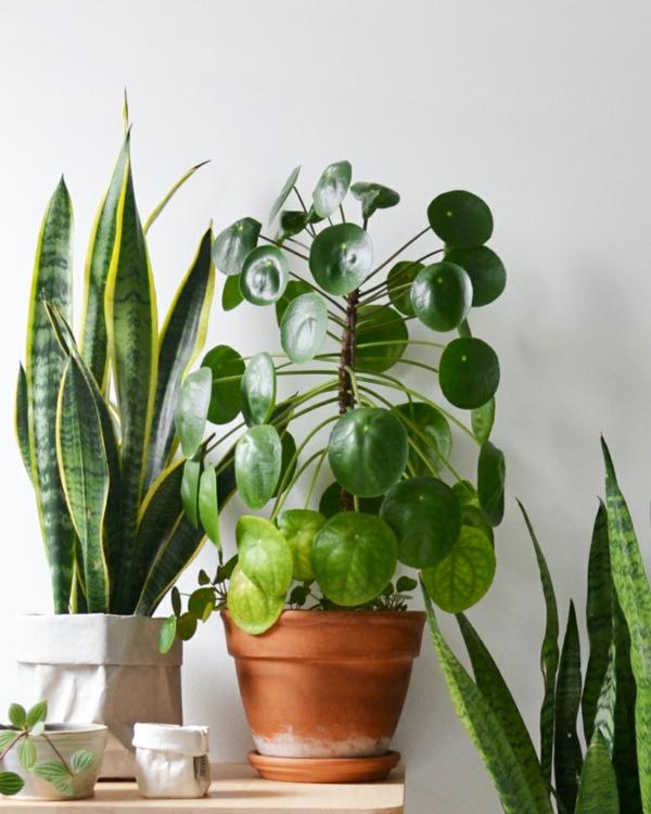 ufopflanze pilea luftreinigende wirkung
