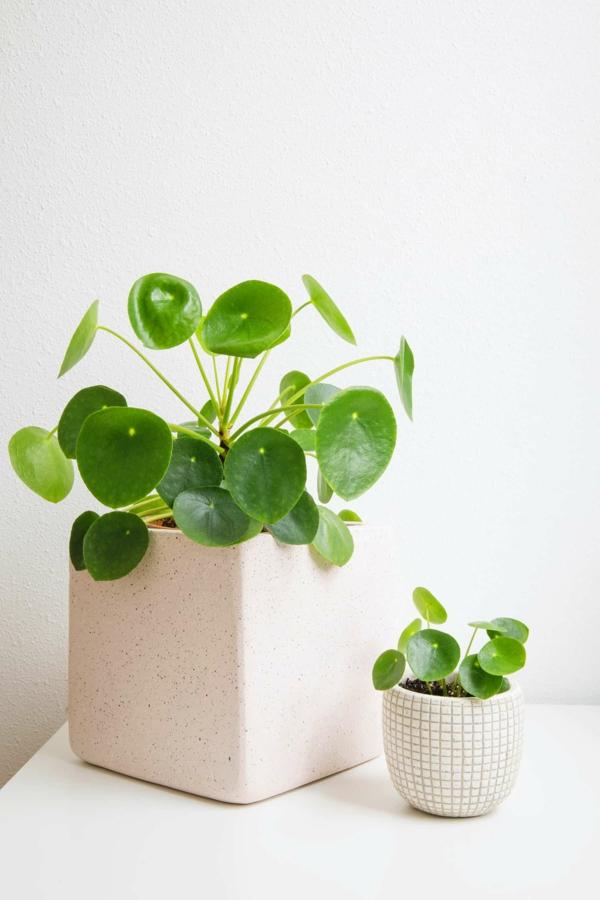 ufopflanze pilea pflege tipps