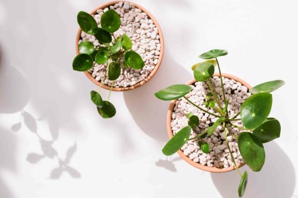 ufopflanze pilea richtig pflegen topfpflanze