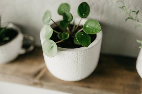 ufopflanze pilea topfpflanze luftreinigende wirkung