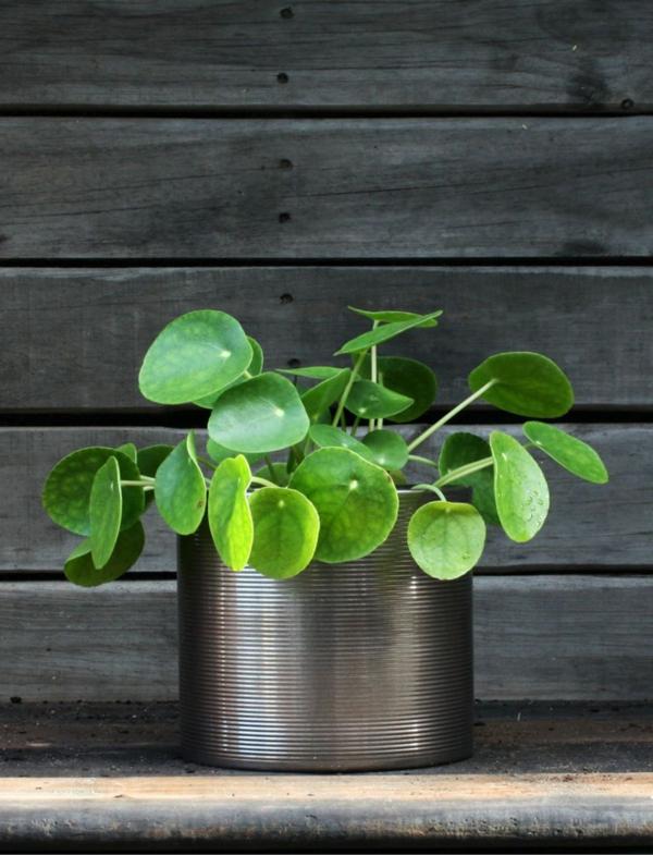 ufopflanze pilea zimmerpflanze balkonpflanze