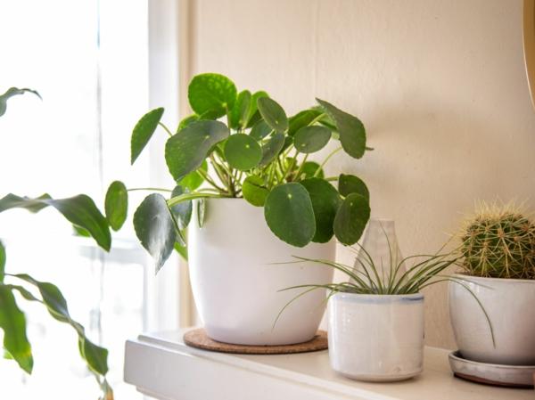 ufopflanze pilea zimmerpflanze gesunde wirkeung