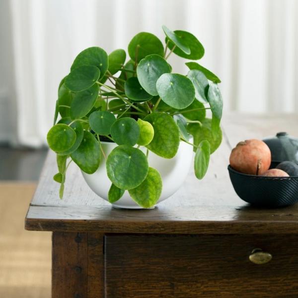 ufopflanze pilea zimmerpflanze tischdeko