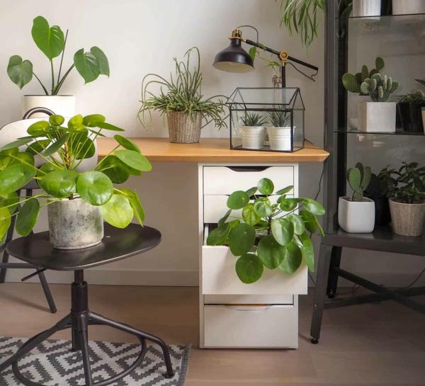 ufopflanze pilea zimmerpflanzen gesunde wirkung
