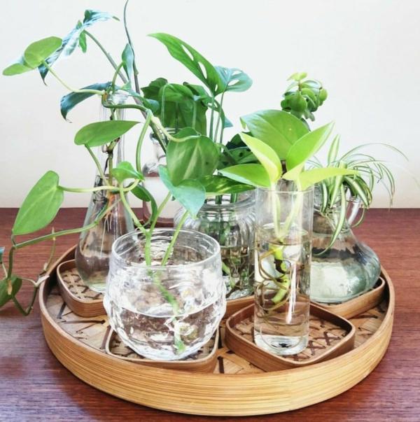 ufopflanze pileain gläsern ziehen