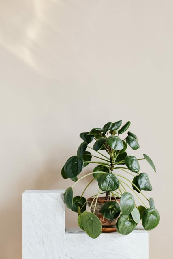 zimmerpflanze ufopflanze pilea pflegetipps